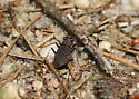 One-spotted tiger beetle for NJ point on Data Map - Cylindera unipunctata