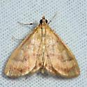 moth - Crocidophora tuberculalis