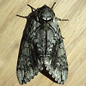 Waved Sphinx (Ceratomia undulosa)  - Ceratomia undulosa