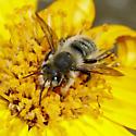 Unknown Bee - Megachile perihirta - male