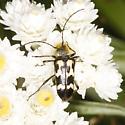 Evodinus species? - Judolia