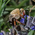 Red Eyed Bee - Centris rhodopus