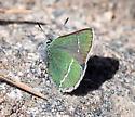 Green butterfly in Colorado - Callophrys sheridanii