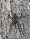 Genus Dolomedes - Fishing Spider? - Dolomedes okefinokensis