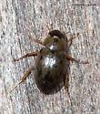 Water Beetle at lights - Berosus