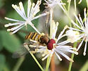 Pollinator on Tall Meadowrue - Allograpta obliqua