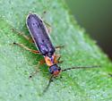 Cantharidae Rhagonycha species? - Rhagonycha