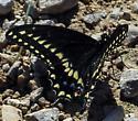 Papilio polyxenes - male