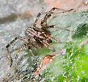 Funnel Web Spider - Agelenopsis
