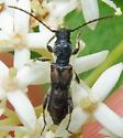 Molorchus bimaculatus bimaculatus - Molorchus bimaculatus