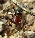 Ant Mimic Ground Spider - Castianeira