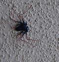 Beetle? - Paraphrynus mexicanus