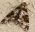Moth or Butterfly - Manduca rustica