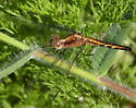 Little Blue Dragonlet? - Erythrodiplax minuscula - female