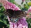 black butterfly - Papilio polyxenes - female