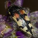 Buprestid - Acmaeodera tuta