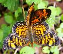 Pearl Crescent - Phyciodes tharos - male - female