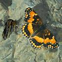 California Patch - Chlosyne californica