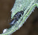 Small black punctated wasp or bee - Heimbra