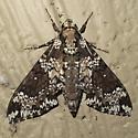 Rustic Sphinx Moth - Hodges #7778 - Manduca rustica