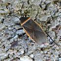 Miridae from Tuscon Arizona - Largus sculptilis