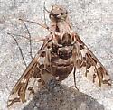 unkn fly - Xenox habrosus