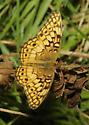 Variegated Fritillary - Euptoieta claudia