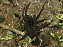 Thin-legged Wolf Spider - Pardosa vancouveri - male