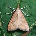 Moth - Udea rubigalis