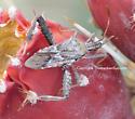 Leaffooted Bug - Narnia? - Narnia femorata