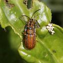 Black-margined Loosestrife Beetle? - Neogalerucella calmariensis - male - female
