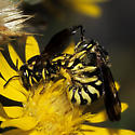 Mystery bees or maybe wasps on Golden Aster - Dianthidium - male - female