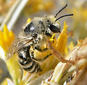 Cellophane bee - Colletes - female