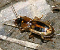 ground beetle - Stenolophus comma