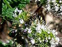 Beewolf - Philanthus gibbosus