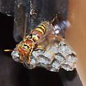 Wasp and nest - Polistes exclamans - female