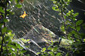 Basilica Orb Weaver (Mecynogea lemniscata) - Web - Mecynogea lemniscata