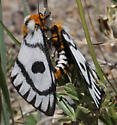 moth - Hemileuca hera - male - female