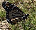 Monarch 2 - Danaus plexippus