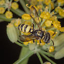 Wasp? - Cerceris californica - female