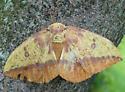 Imperial Moth - Eacles imperialis