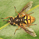 syrphid fly - Somula decora - male