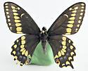 Papilio - Papilio brevicauda