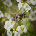 Diptera- flies, ID please