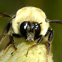 Bombus with red tail and bulging eyes - Bombus nevadensis - male