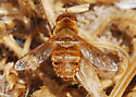 Orange County Bee Fly Archives - Lepidanthrax