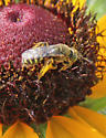 Male Agapostemon virescens?  - Perdita bequaerti - male