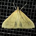 Hahncappsia neobliteralis - male
