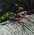 Grasshopper - Romalea microptera - female