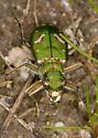 Ohlone Tiger Beetle - Cicindela ohlone